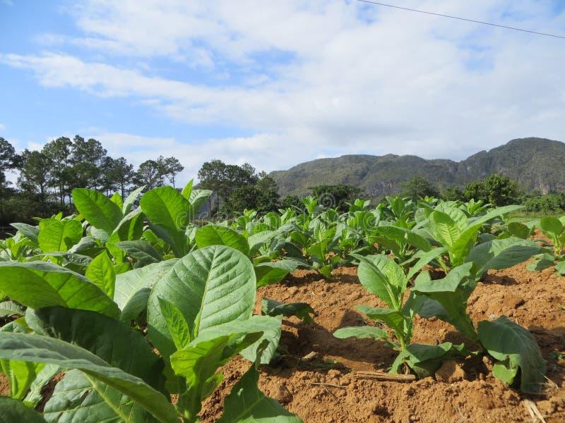 Plantas de tabaco foto de archivo