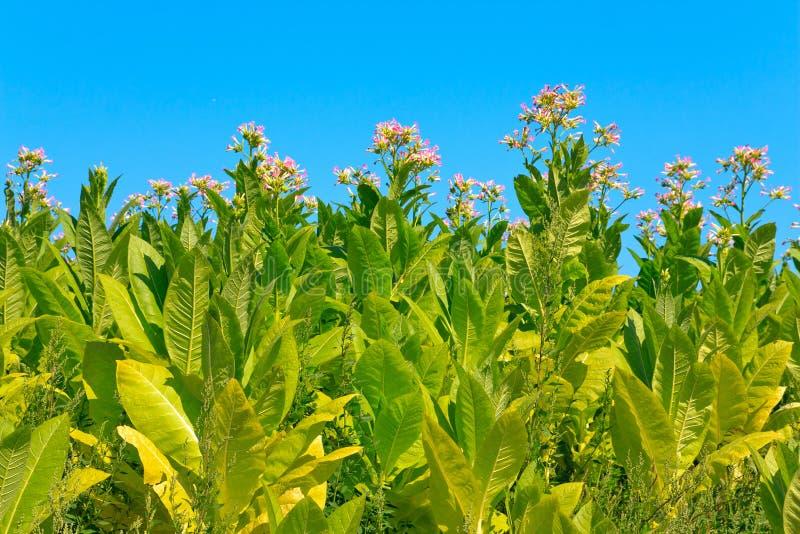 Plantas de tabaco con las hojas, las flores y los brotes imagen de archivo libre de regalías