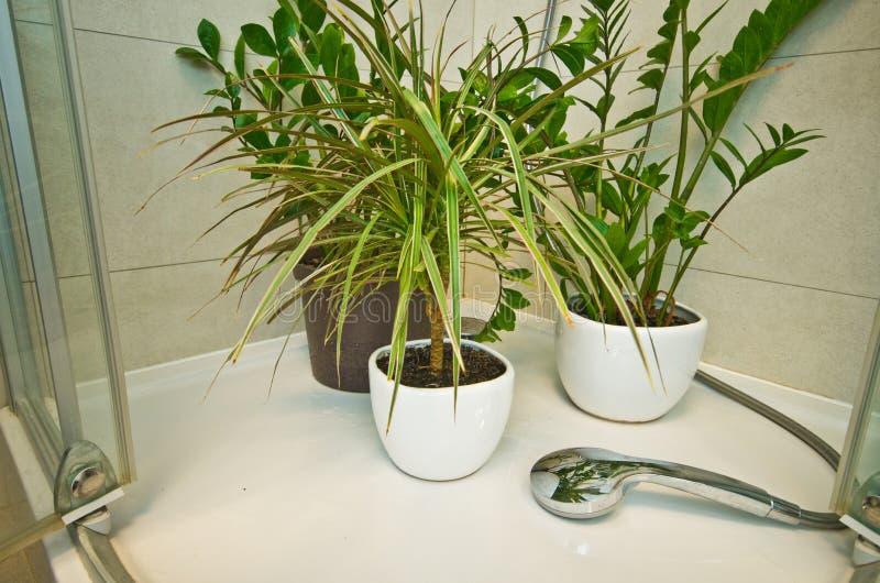 Plantas de tiesto caseras que riegan debajo de ducha fotografía de archivo libre de regalías