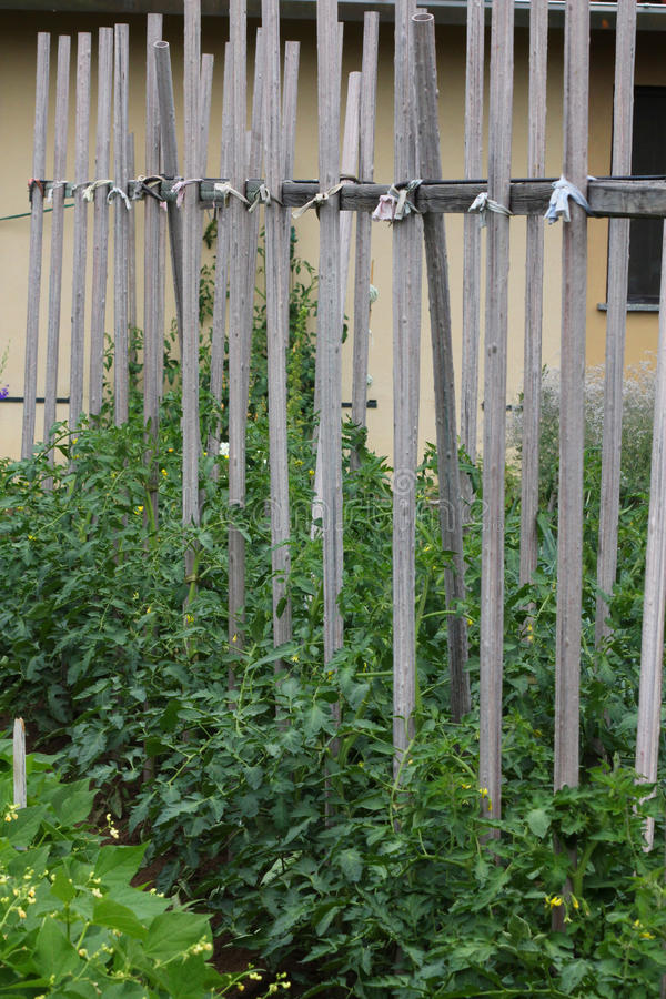 Plantas de tomate imagem de stock
