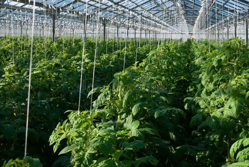 Plantas de tomate fotos de archivo