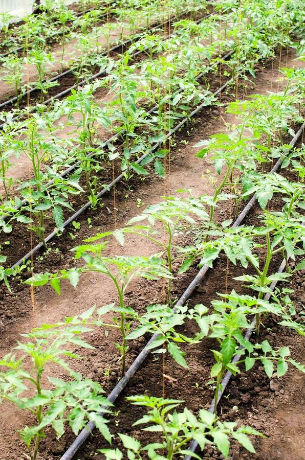 Plantas de tomate jovenes imagen de archivo