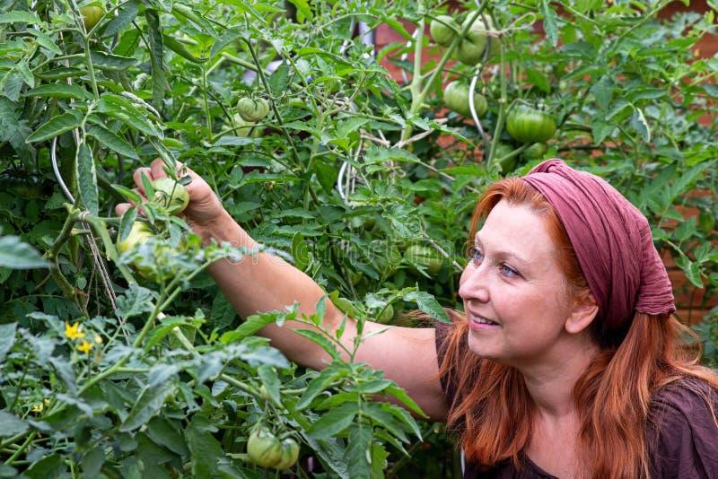 Plantas de tomate fotos de archivo libres de regalías