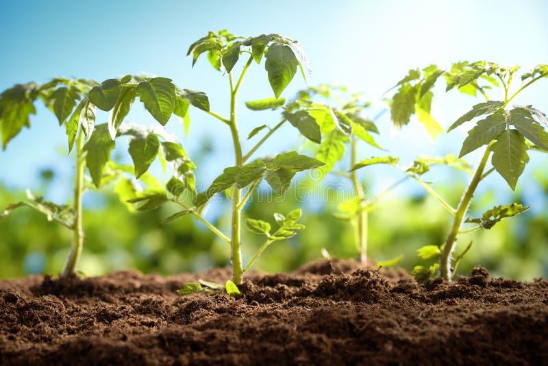 Plantas de tomate novas imagem de stock royalty free