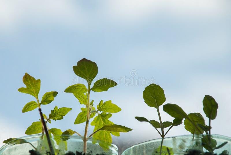 Plantas de tomate novas que crescem na soleira imagem de stock