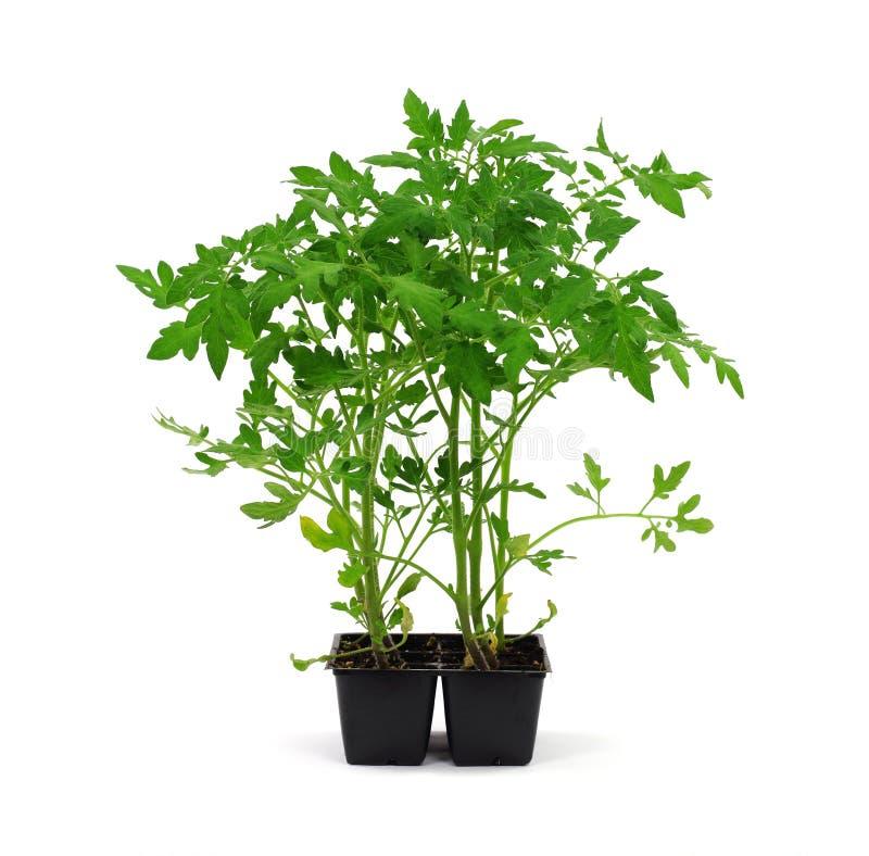 Plantas de tomate prontas para o jardim imagem de stock royalty free