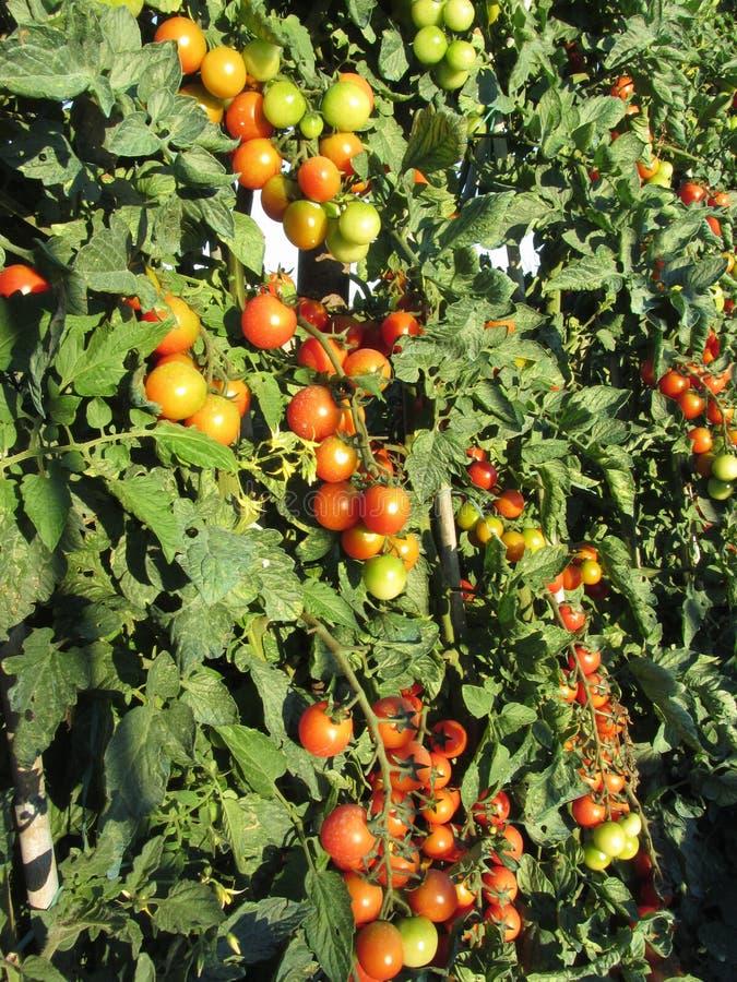 Plantas de tomate que crecen en el jardín Los tomates maduran gradualmente Toscana, Italia foto de archivo