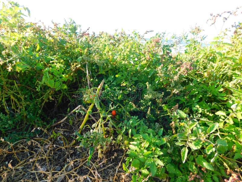 Plantas de tomate que crecen silvestres en la playa a orillas del mar fotografía de archivo
