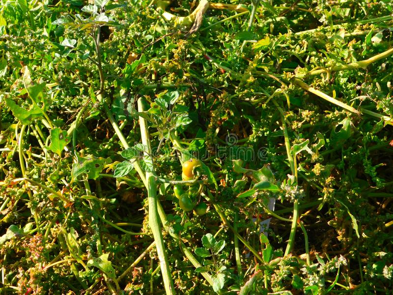 Plantas de tomate que crecen silvestres en la playa a orillas del mar imagen de archivo libre de regalías