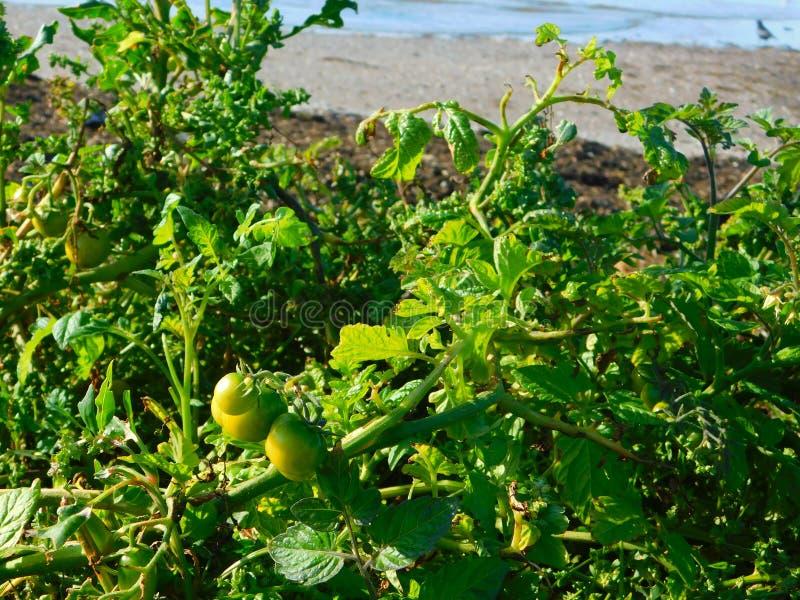 Plantas de tomate que crecen silvestres en la playa a orillas del mar fotos de archivo libres de regalías
