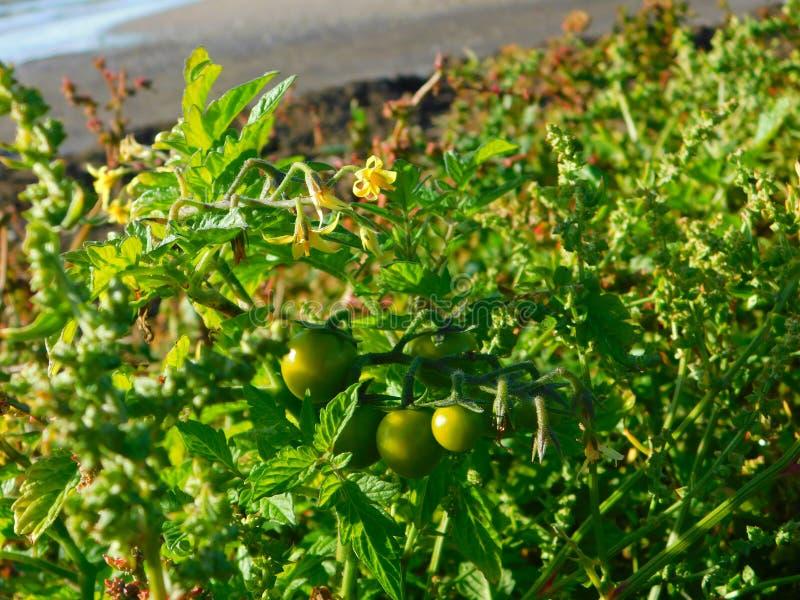 Plantas de tomate que crecen silvestres en la playa a orillas del mar fotos de archivo