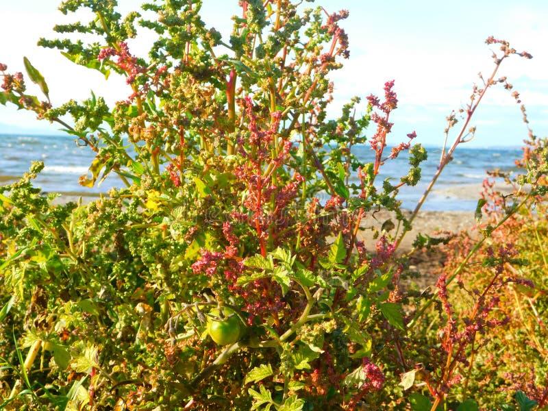 Plantas de tomate que crecen silvestres en la playa a orillas del mar imagen de archivo