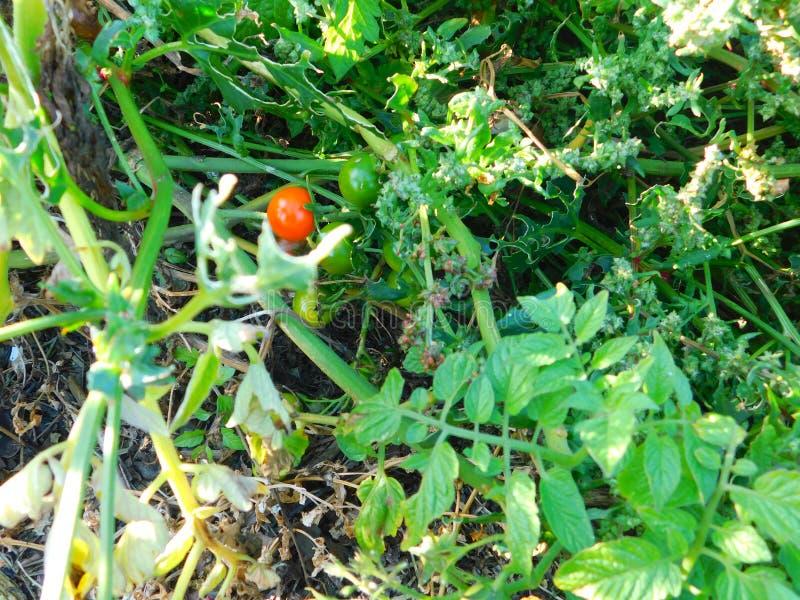 Plantas de tomate que crecen silvestres en la playa a orillas del mar foto de archivo