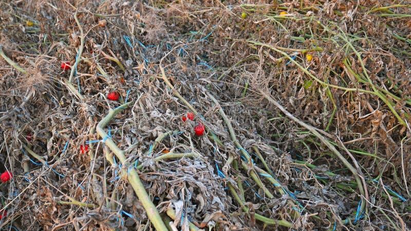 Plantas de tomate secadas após a colheita foto de stock