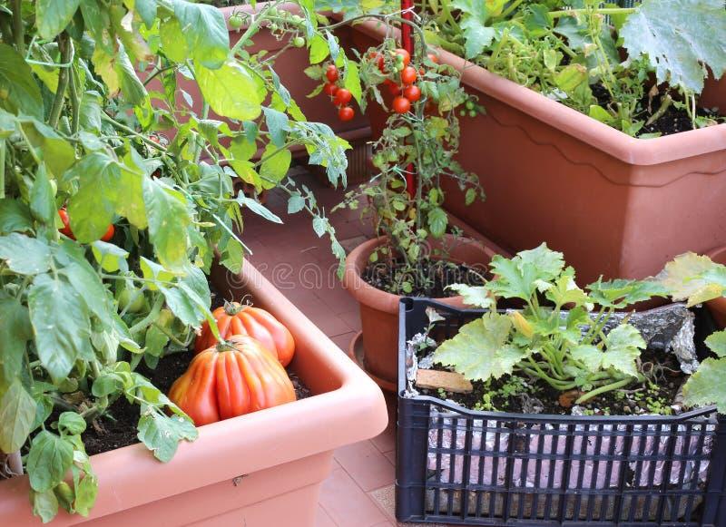 plantas de tomates y del calabacín en los potes de un jardín urbano i fotos de archivo