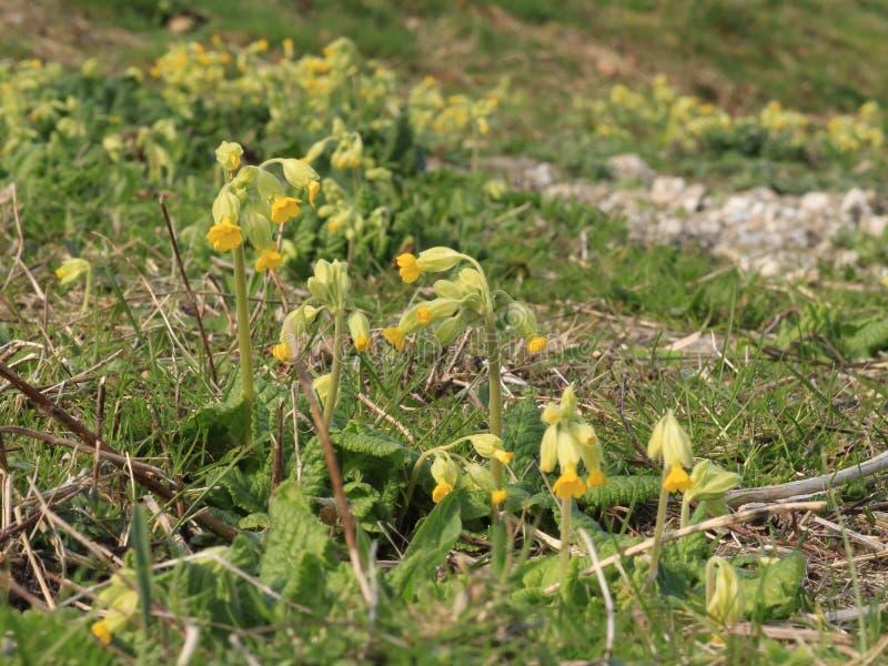 Plantas de Veris de la prímula de las prímulas que crecen en cierre del prado del prado para arriba en formato de paisaje imagen de archivo libre de regalías