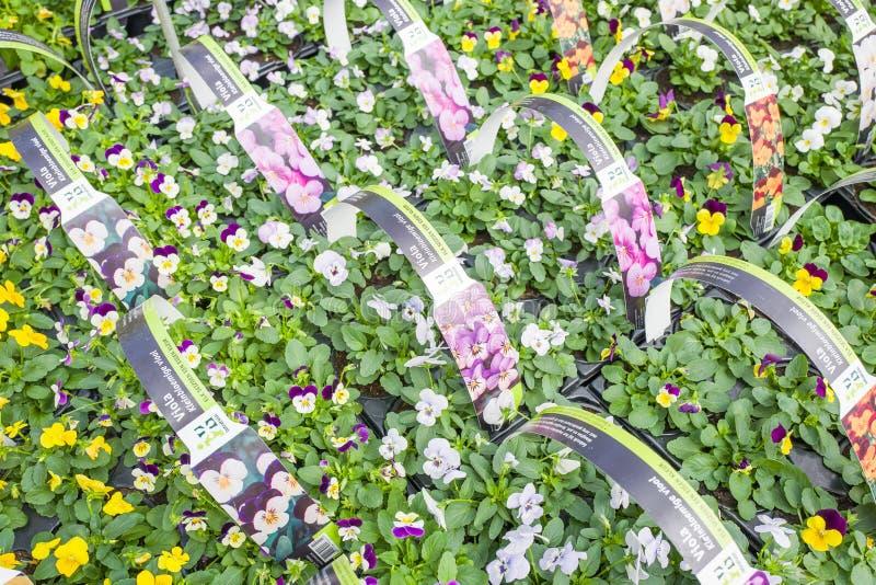 Plantas de Violia em uma loja de Intratuin em Voorschoten, Países Baixos fotos de stock