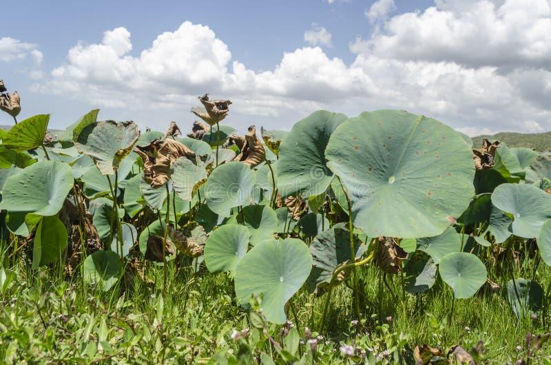 Plantas de Waterlily que crescem entre a grama imagens de stock royalty free