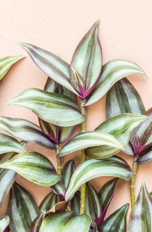 Plantas decorativas, planta de prata da polegada, judeu de vagueamento (Tradescanti imagens de stock