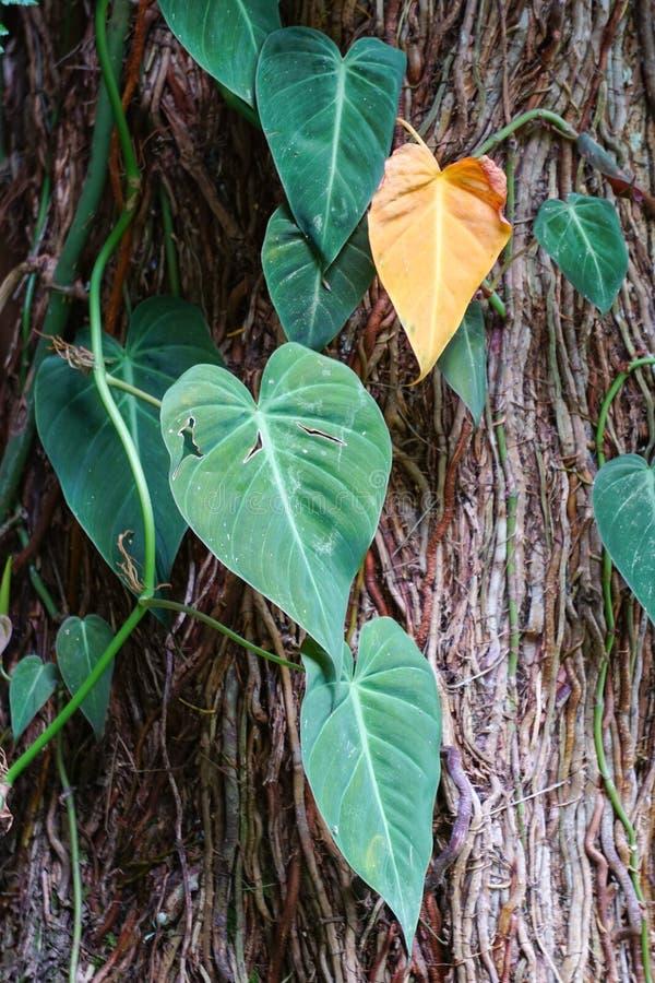 Plantas del aureum del Epipremnum fotos de archivo libres de regalías
