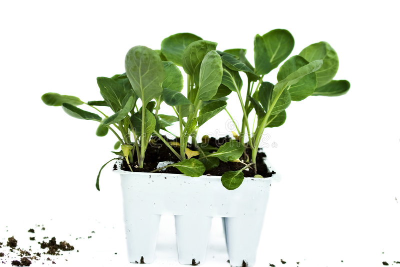 Plantas del bróculi fotos de archivo libres de regalías