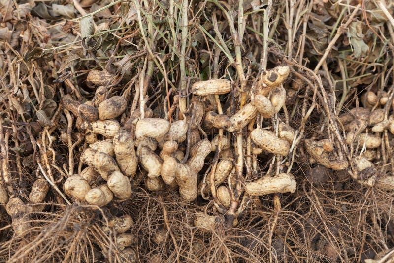 Plantas del cacahuete con el primer de las raíces foto de archivo libre de regalías
