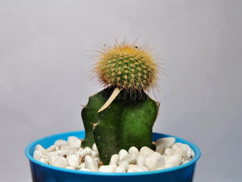 Plantas del cactus en los potes aislados en el fondo blanco imagen de archivo
