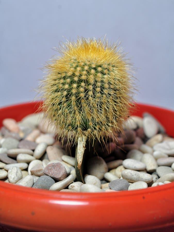 Plantas del cactus en los potes aislados en el fondo blanco imagen de archivo libre de regalías