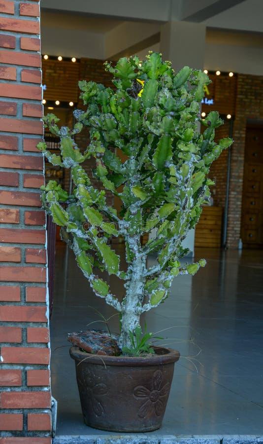 Plantas del cactus para la decoración fotografía de archivo libre de regalías