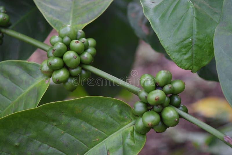 Plantas del café en el jardín fotos de archivo