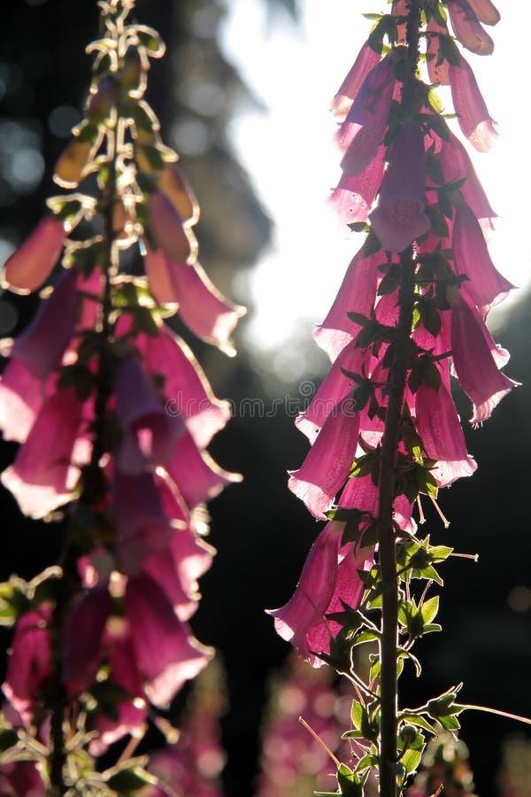 Plantas del Foxglove en el claro del bosque imágenes de archivo libres de regalías
