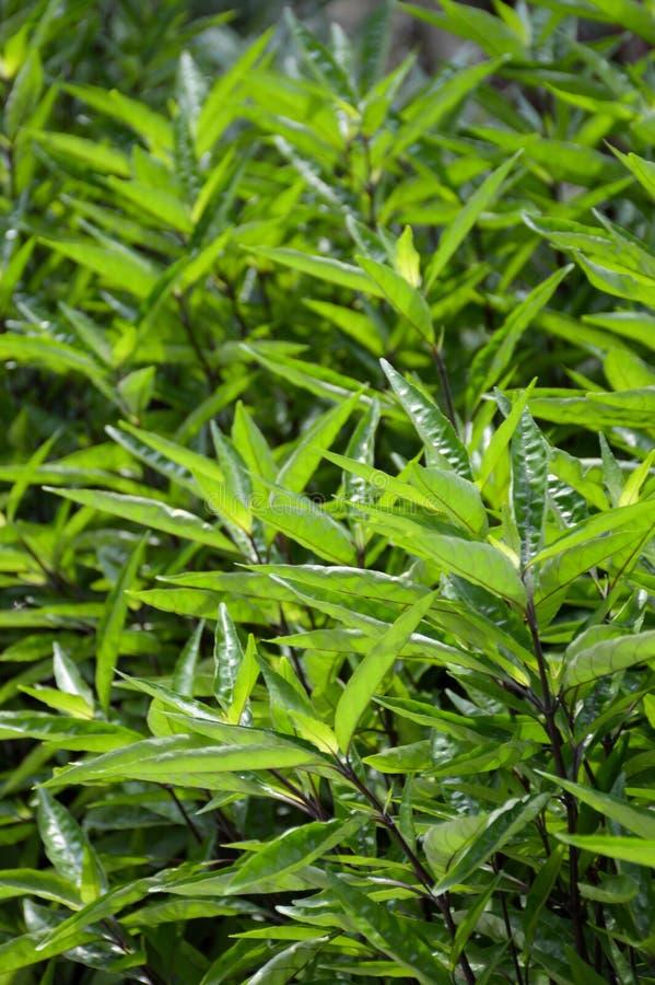 Plantas del lupulina de Barleria en jardín de la naturaleza fotos de archivo