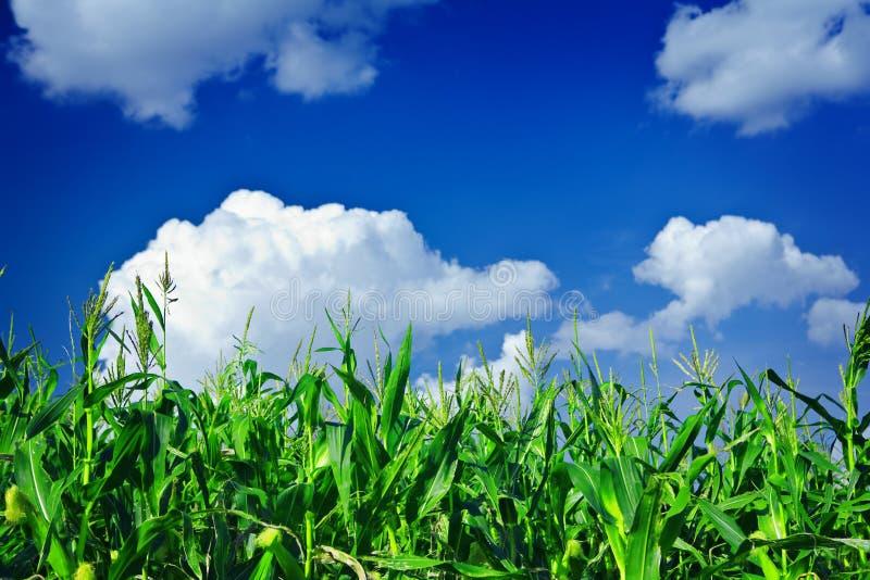 Plantas del maíz verde en el cielo imagen de archivo