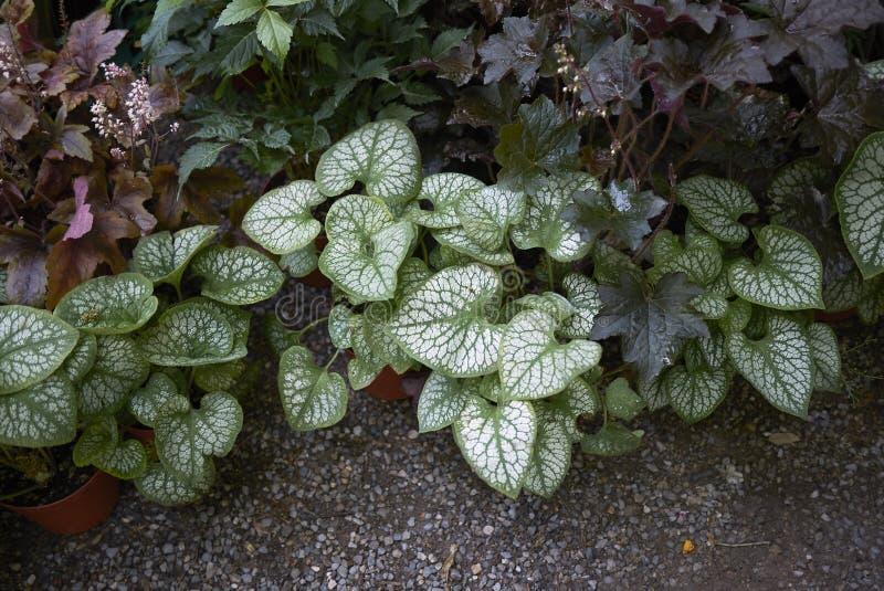 Plantas del macrophylla de Brunnera fotografía de archivo libre de regalías