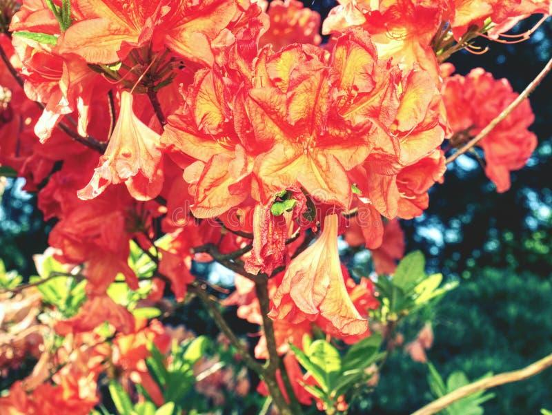 Plantas del rododendro en la floración con las flores de diversos colores imagen de archivo