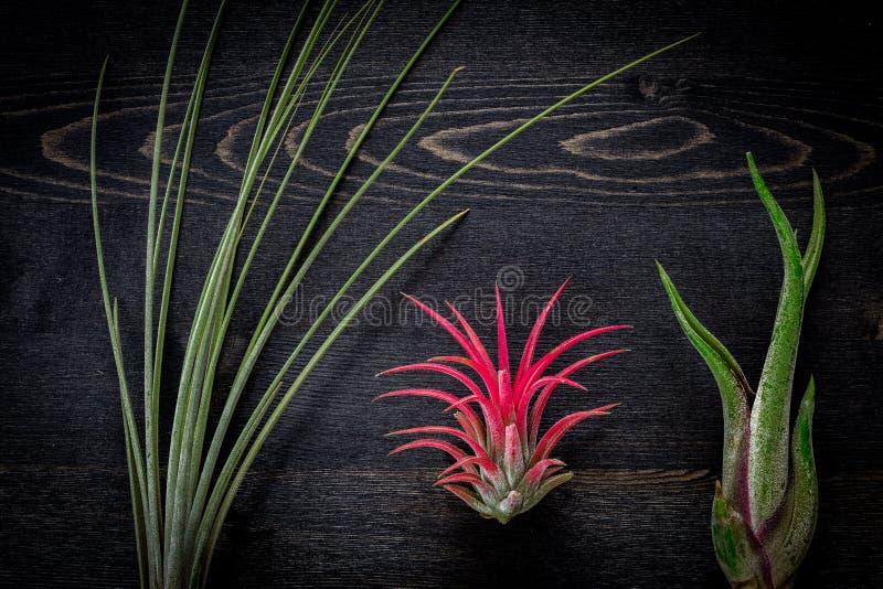 Plantas del Tillandsia fotografía de archivo libre de regalías