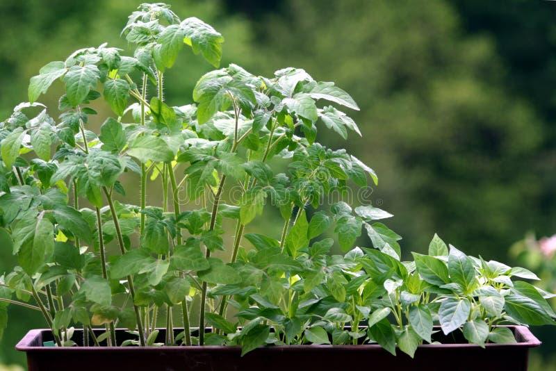 Plantas del tomate y de la pimienta imágenes de archivo libres de regalías