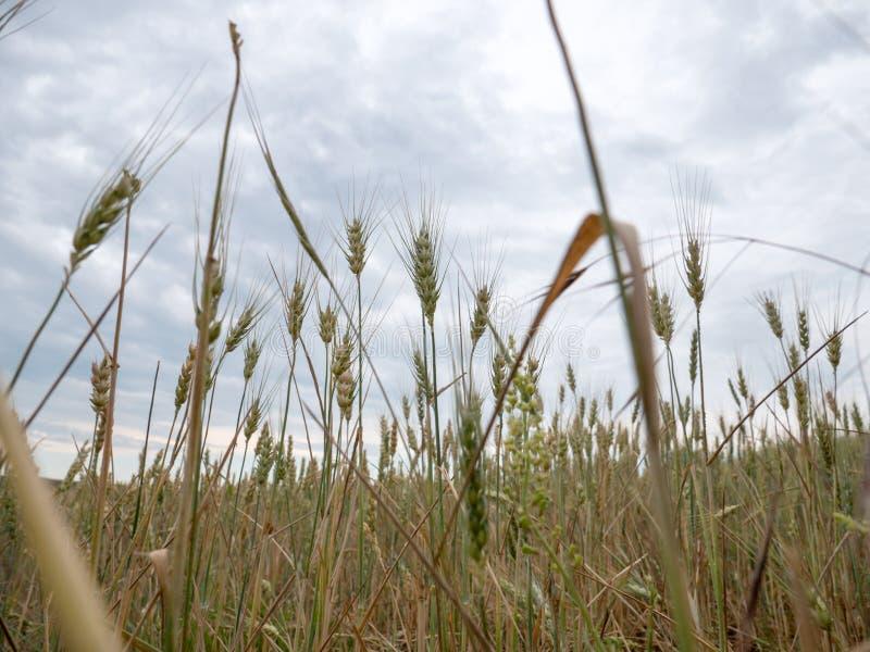 Plantas del trigo antes del tiempo de cosecha en campo de la agricultura foto de archivo