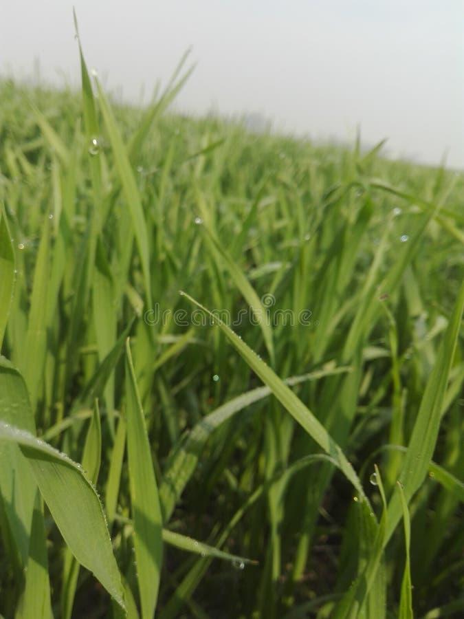 Plantas del trigo por mañana fotografía de archivo