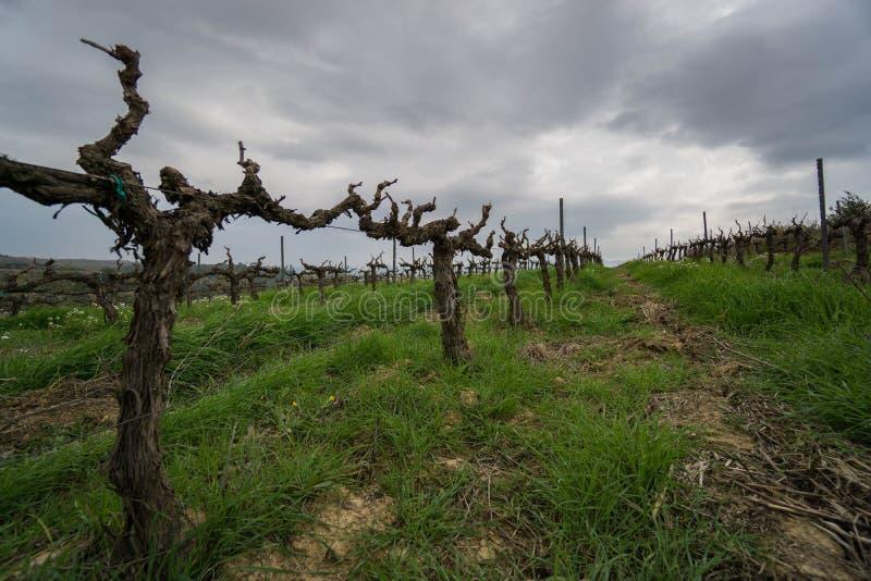Plantas del vino en alguna parte en Cataluña fotos de archivo libres de regalías