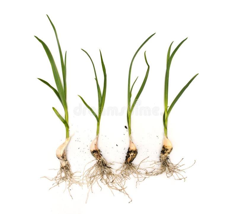 Plantas do alho com raizes no fundo branco isolado imagem de stock