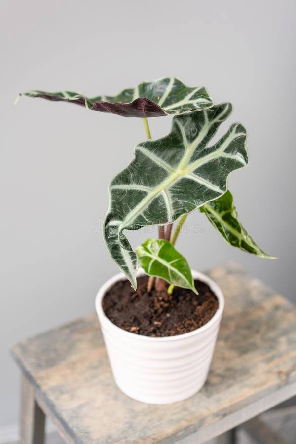 Plantas do Alocasia Planta verde à moda em uns potenciômetros cerâmicos no suporte de madeira do vintage no fundo da parede cinze fotos de stock royalty free