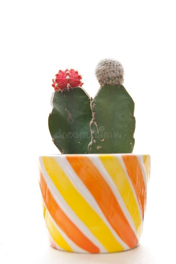 Plantas do cacto fotografia de stock royalty free