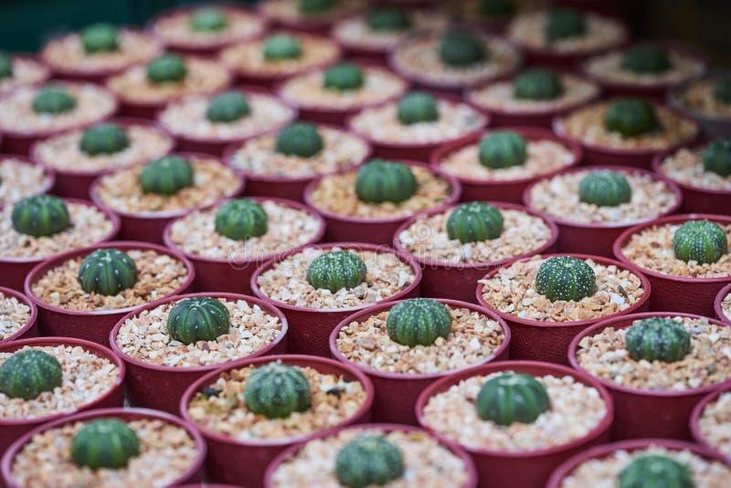 Plantas do cacto que crescem nas vagens imagem de stock