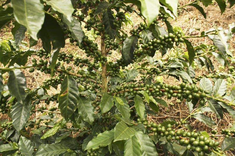 Plantas do café a amadurecer-se foto de stock