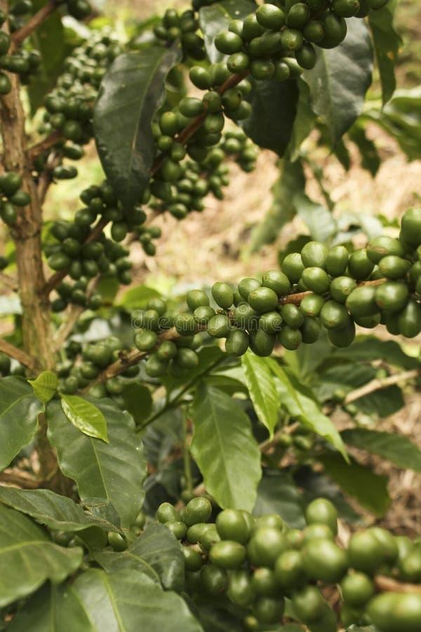Plantas do café a amadurecer-se. Quimbaya, Colômbia imagens de stock royalty free