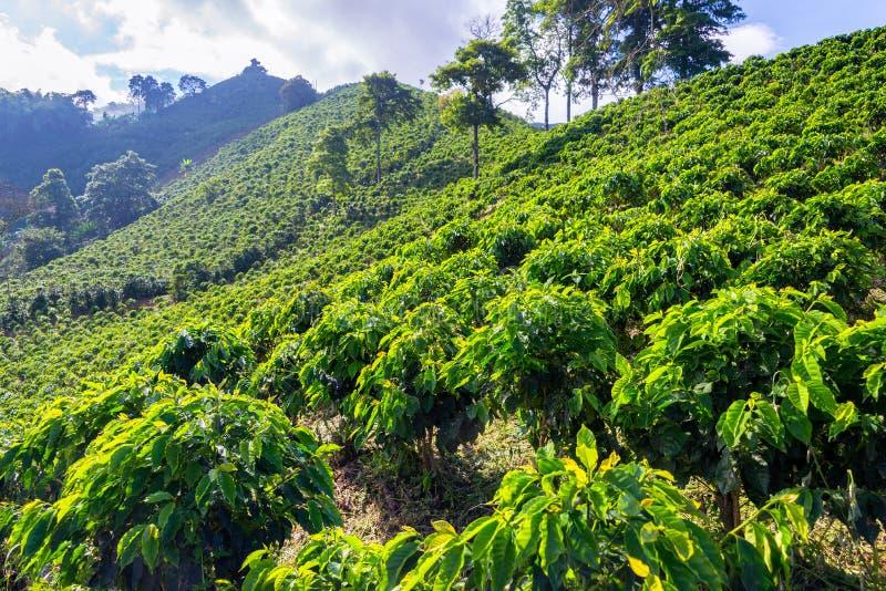 Plantas do café em um monte fotos de stock royalty free