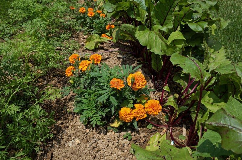 Plantas do companheiro fotografia de stock royalty free