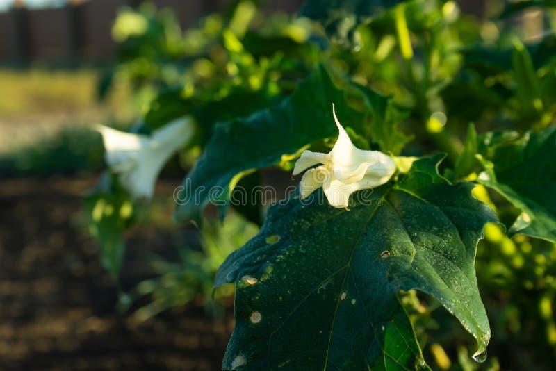 Plantas do estramônio Mostrando as folhas verdes e a flor de florescência branca que sejam plantas decorativas venenosas imagens de stock royalty free