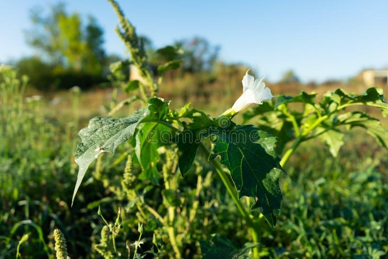 Plantas do estramônio Mostrando as folhas verdes e a flor de florescência branca que sejam plantas decorativas venenosas fotografia de stock royalty free
